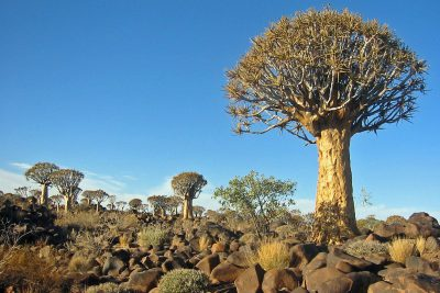 kokerboom_forest_namibia