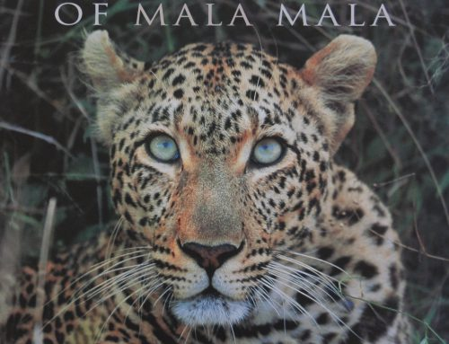 Big Cats of MalaMala