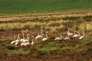 Greater Flamingoes on the only Renosterveld wetland located so far - on Kleindam Farm in the project area