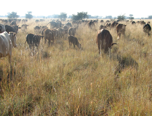 Veld-raised beef  good for your health, good for the planet