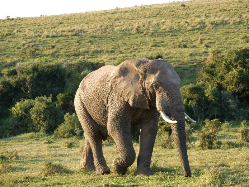 Elephants, Rhinos, Hippos as Climate Change Heroes
